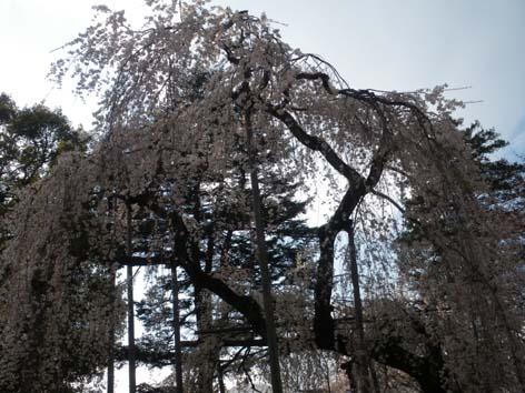 fushihimesakura2.jpg